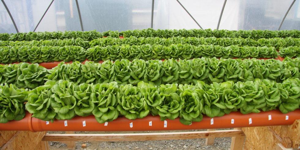 Salat in Gewächshaus