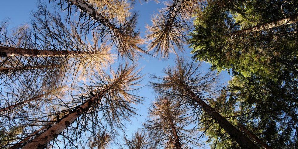 Hohe Bäume mit viel Biomasse könnten in Zukunft seltener werden. Foto: Prof. Rupert Seidl / TUM