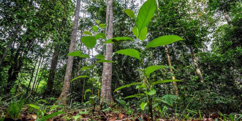 Tropenwald auf Borneo