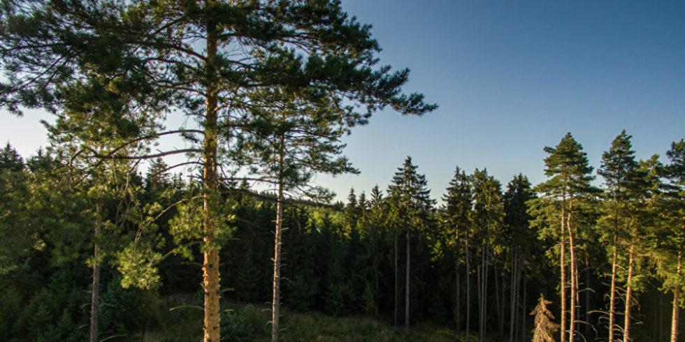 Nadelwald mit Wiese