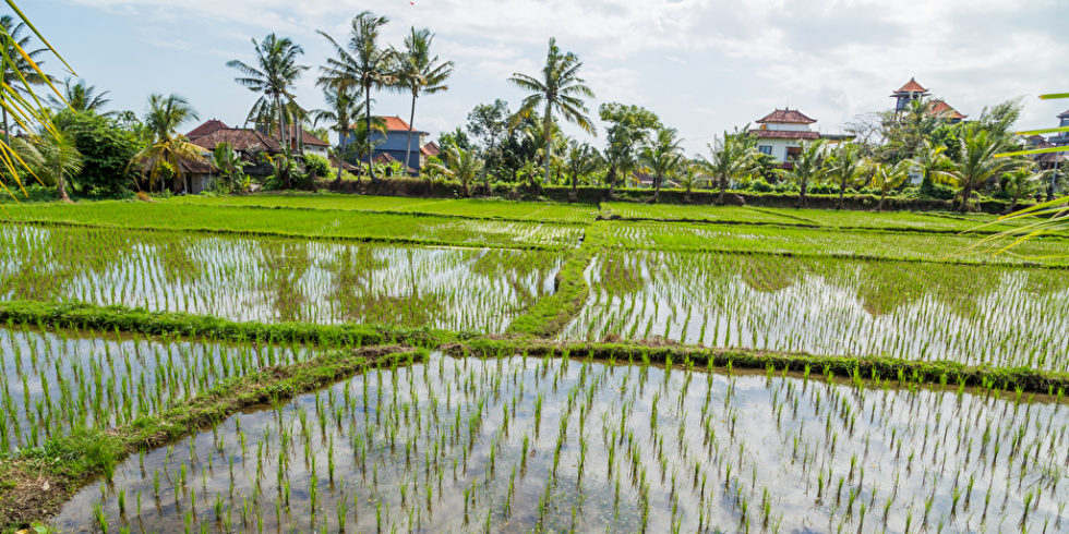 Reis reichert Arsen stark aus dem Boden an. Mit Nanosensoren ist es gelungen, das Schwermetall einfach nachzuweisen.  Foto: panthermedia.net/uivalesousa