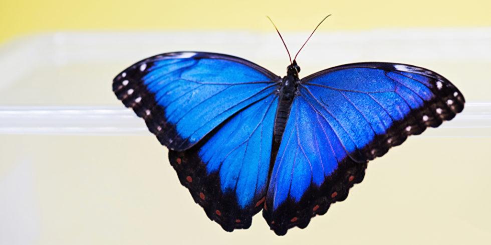 Morpho-Schmetterling auf gelbem Grund