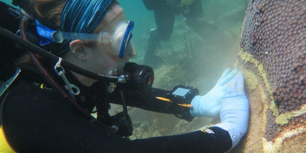 Eine Wissenschaftlerin behandelt erkrankte Steinkorallen mit einem Antibiotikum.  Foto: Joshua Voss, FAU Harbour Branch