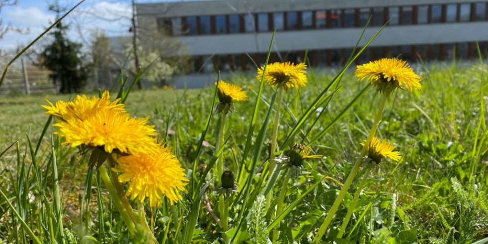 Löwenzahn wird am LANUV in NRW als ‧pflanzlicher Bioindikator eingesetzt. Foto: LANUV NRW