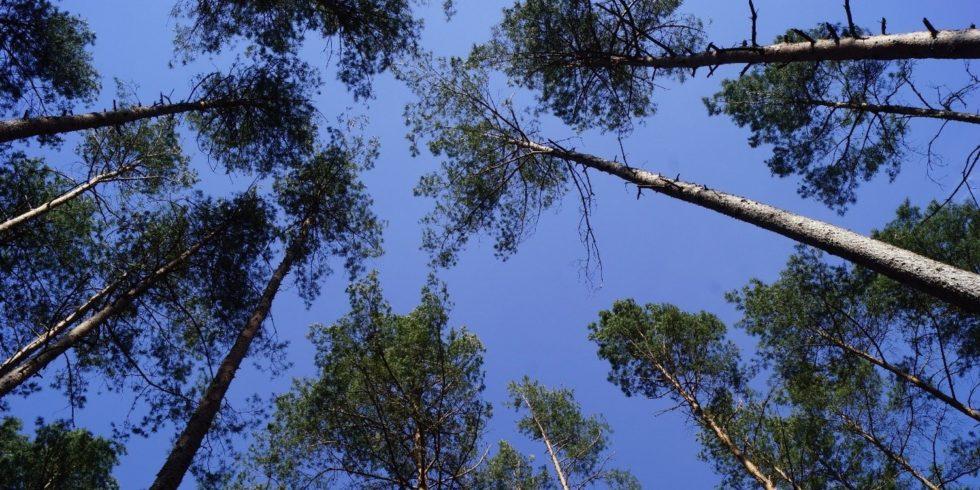 Wald mit lichtem Kronendach