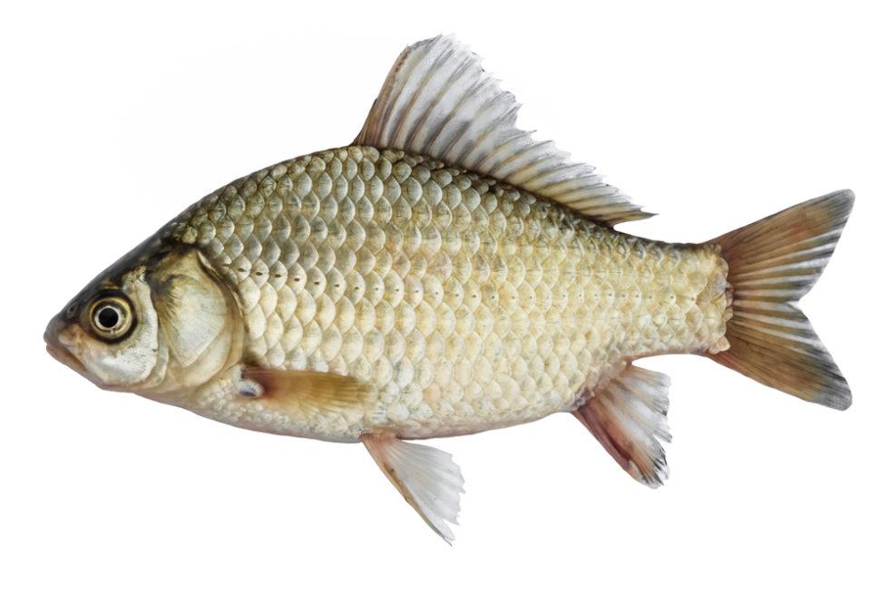 Fisch als Vorbild für Mikroplastik-Filter
